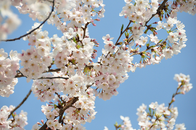 Spring is in full bloom! The top 5 cherry blossoms spots ... - photo#6